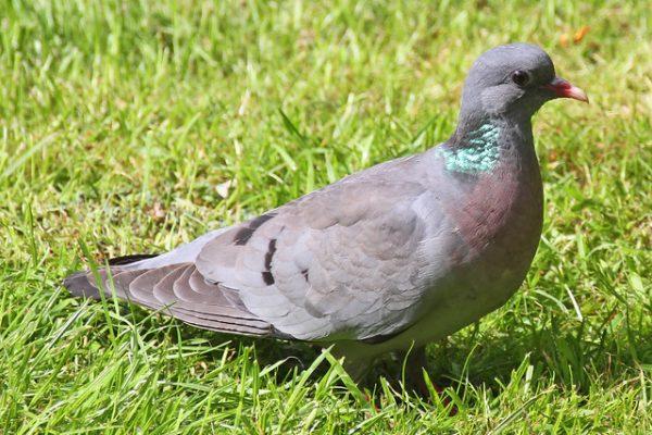 Stock Dove (Tony Hisgett)