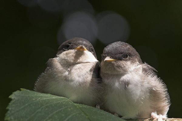 Swallow (Jurgen)