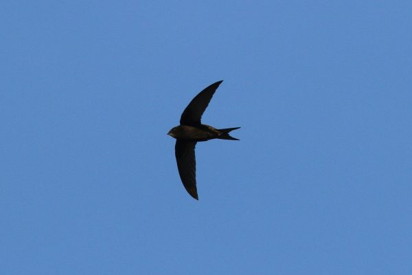 Swift-in-flight-Dick-Coombes