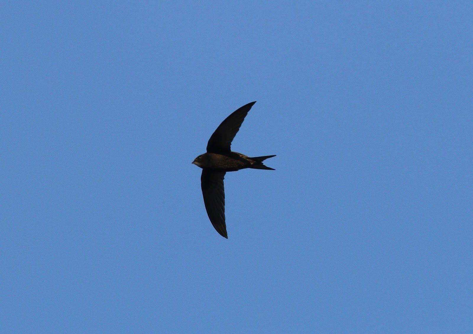 Swift-in-flight-Dick-Coombes