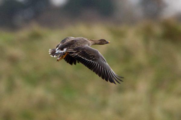 tundra-bean-goose-in-flight