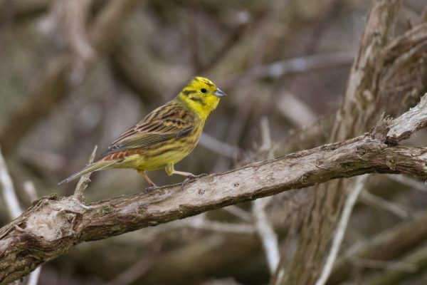 yellowhammer-standing-on-branch