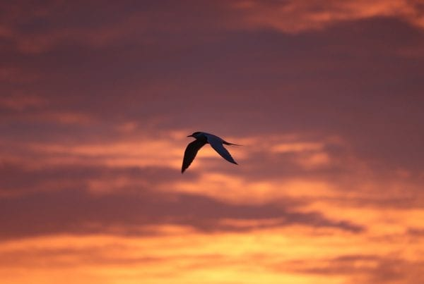 common-tern-flying-with-pink-sky