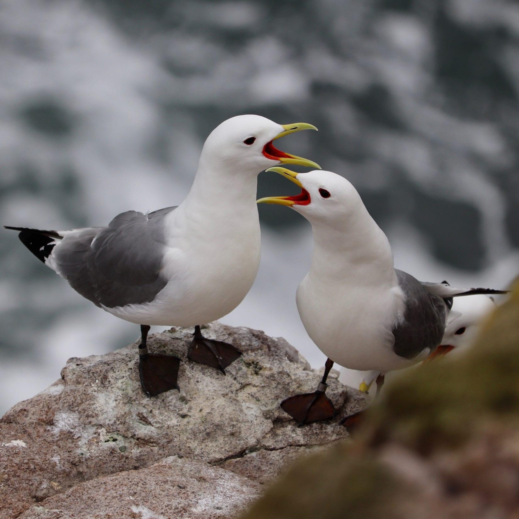 kittiwakes-on-cliff-on-rockabill-lorna-gill
