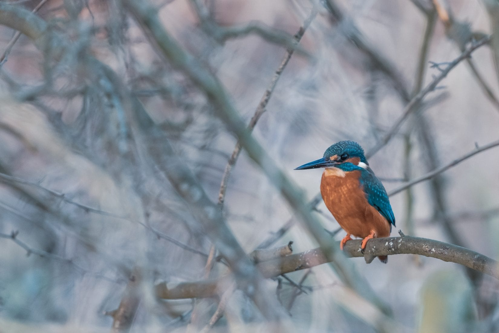 kingfisher-perched-on-a-branch