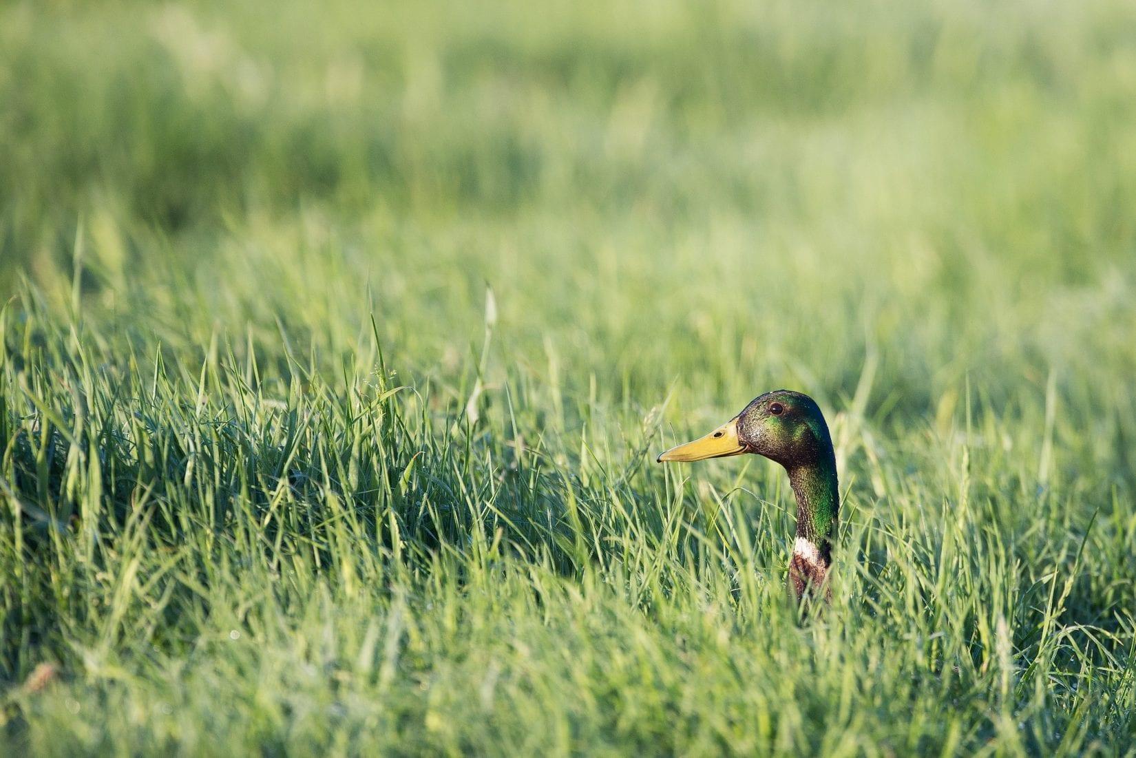 mallard-sticking-head-up-out-of-deep-grass