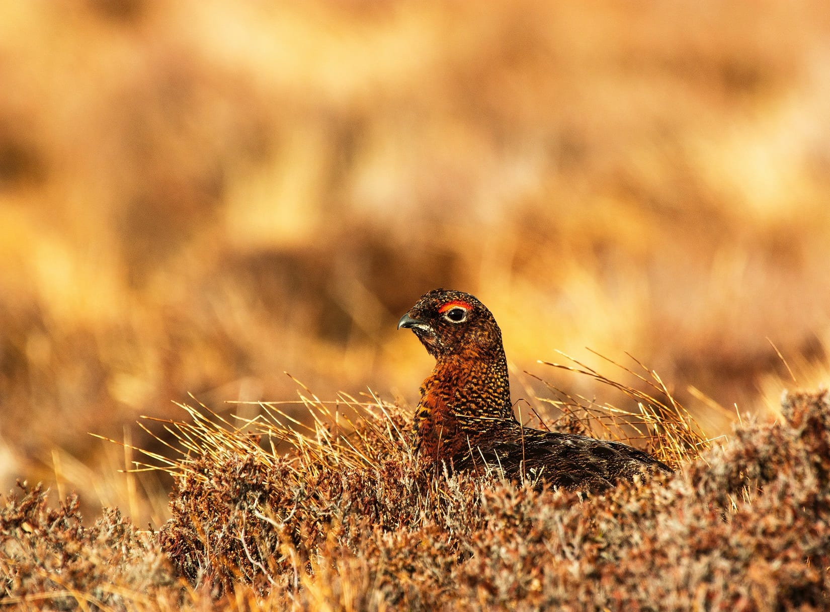 red-grouse-sitting-in-heather