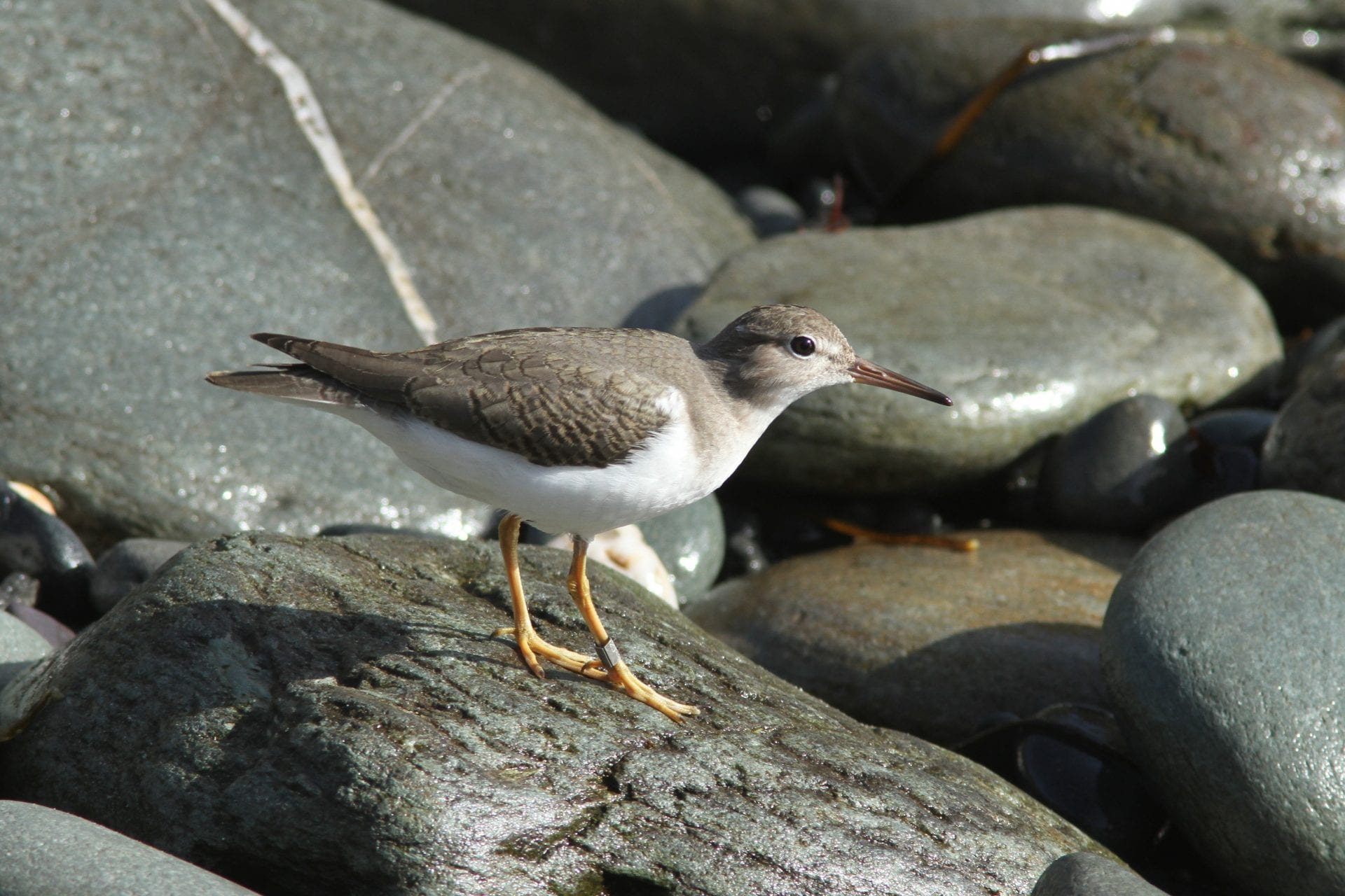 Spotted-Sandpiper-on-a-rocky-shore-line-Cape-Clear