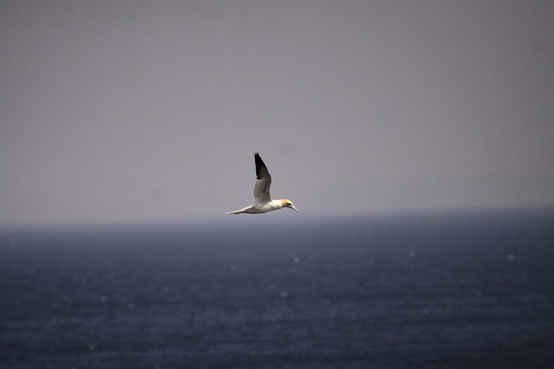 Gannet-Ocean-At-Sea