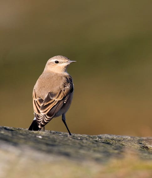 Female Wheatear perched on rock