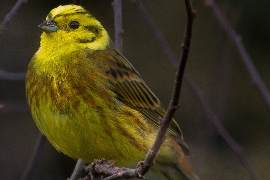 A bright yellow male Yellowhammer in hedgerow habitat