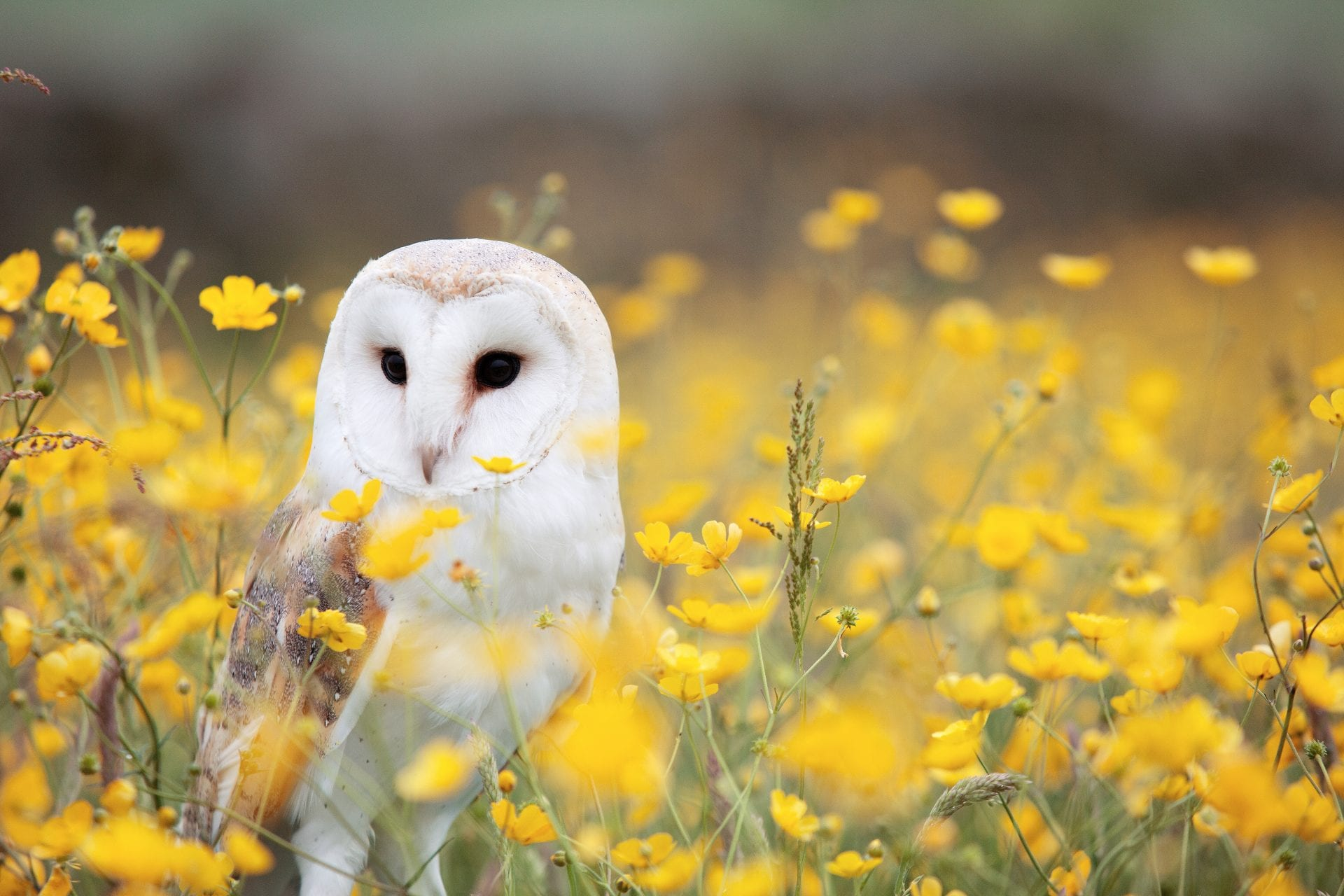 barn-owl-in-a-field-of-buttercups