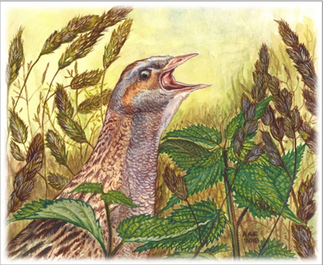 Corncrake-early-cover-painting