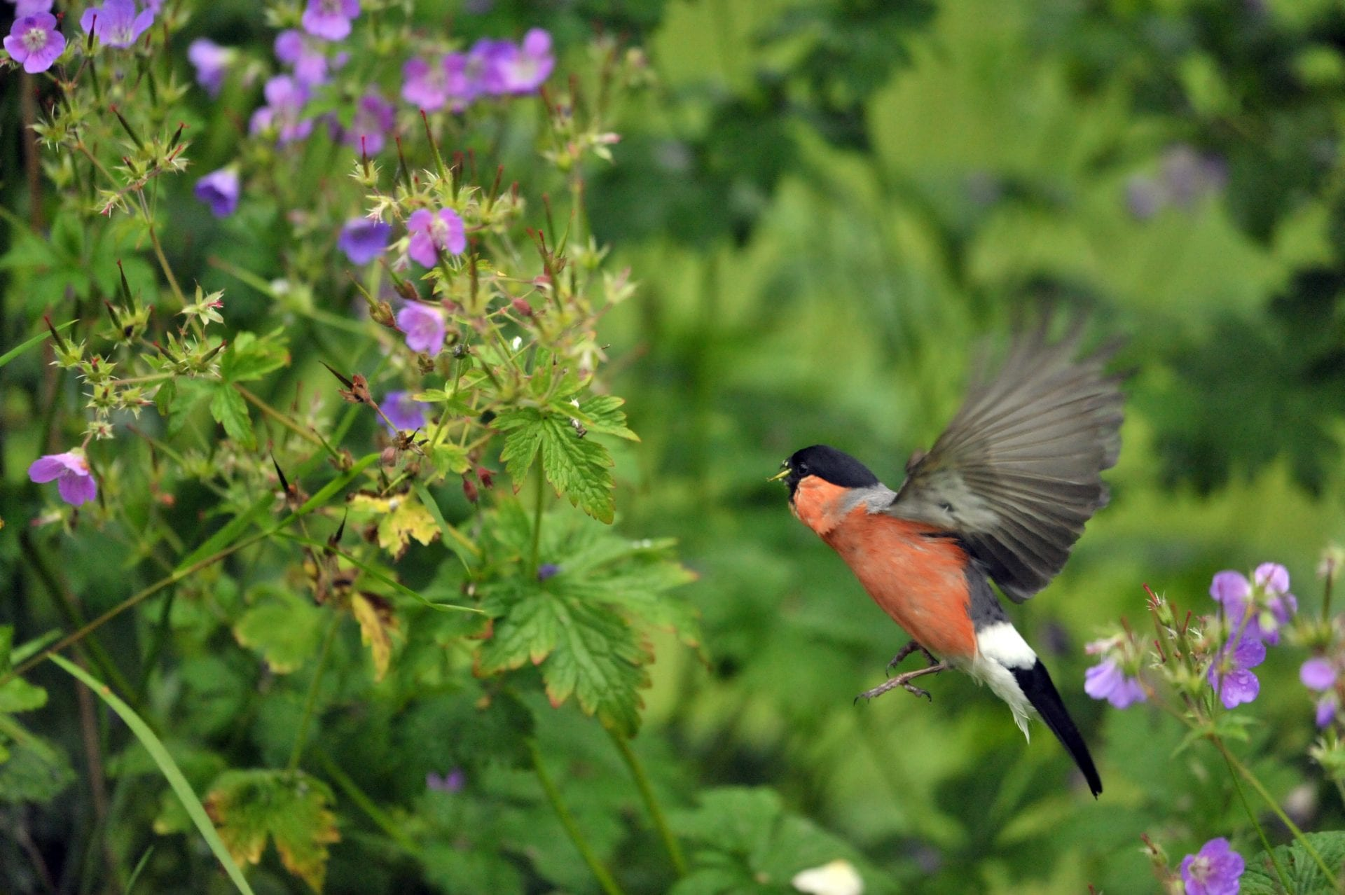 male_bullfinch_flying_in_garden_with_purple_flowers