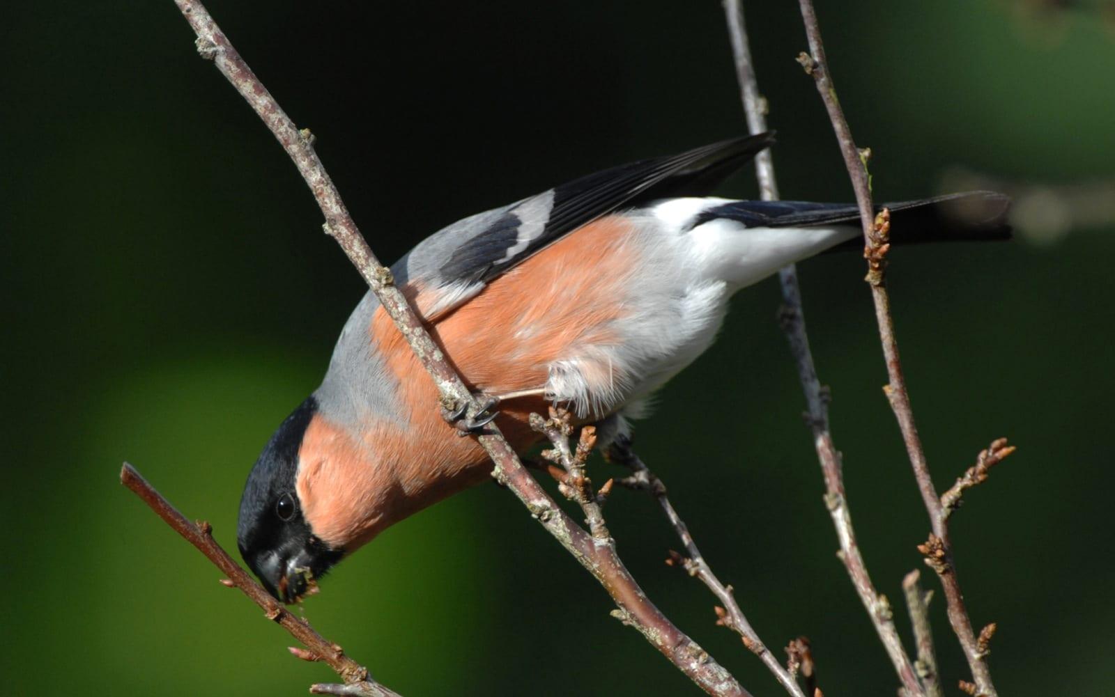 Male Bullfinch feeding on a tree bud