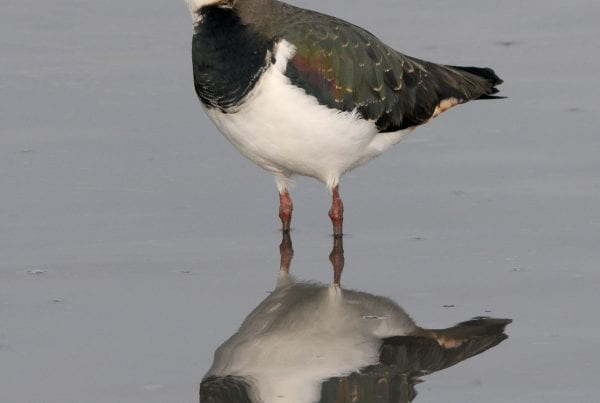 Lapwing standing in water