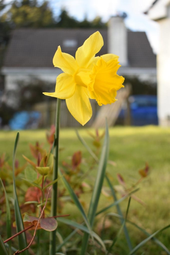 garden-daffodil-with-blurred-house-in-background