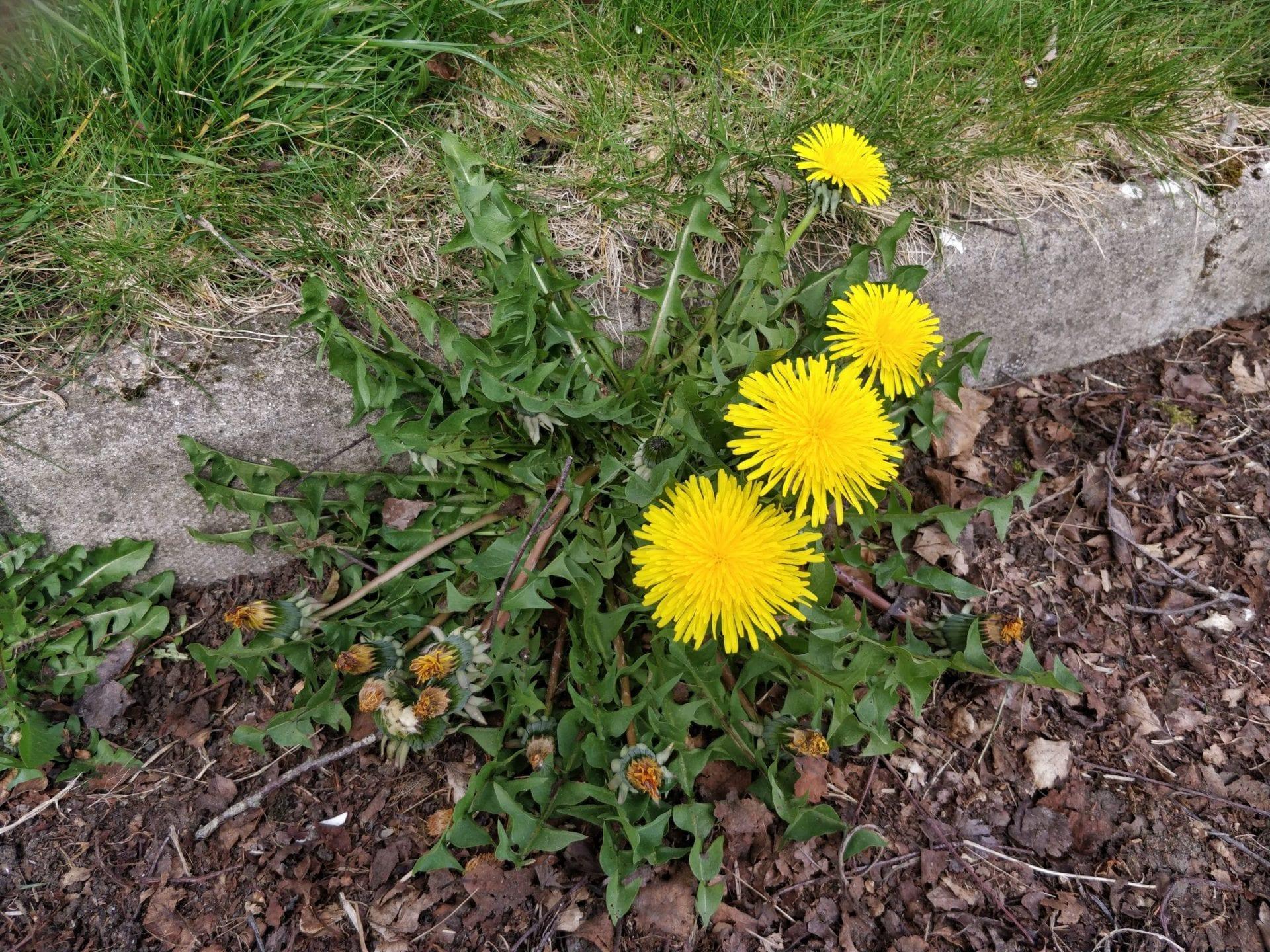 dandelion-flower-cluster-on-roadside