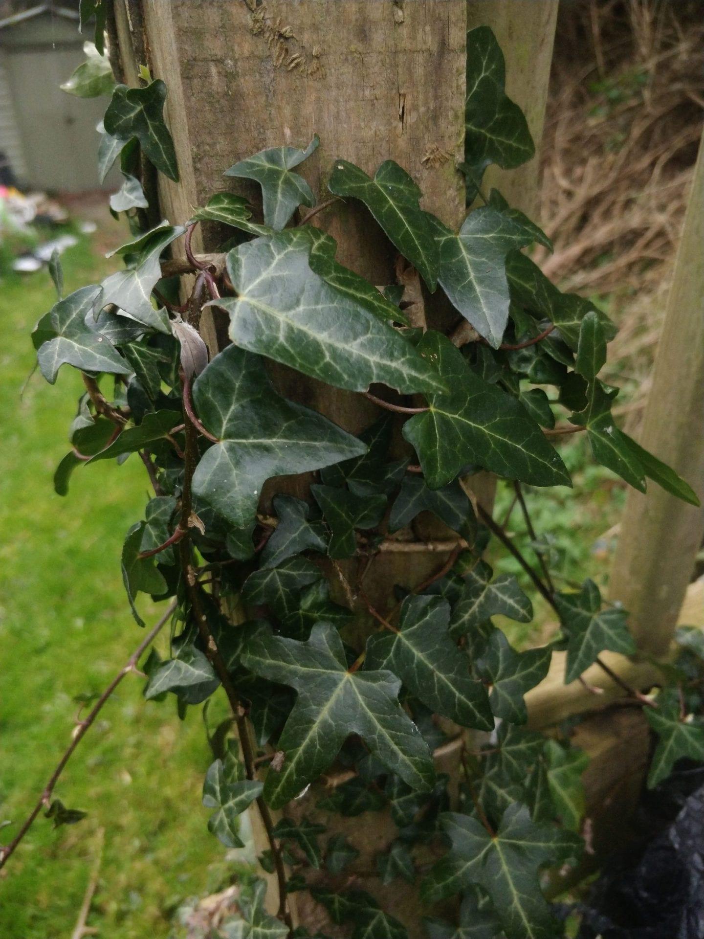 ivy-climbing-on-decking-post