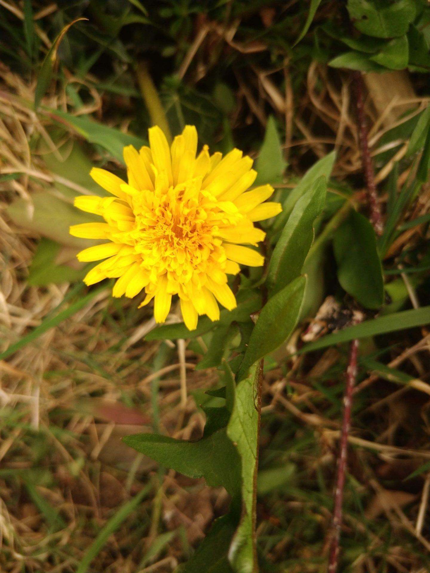 yellow-dandelion-flower