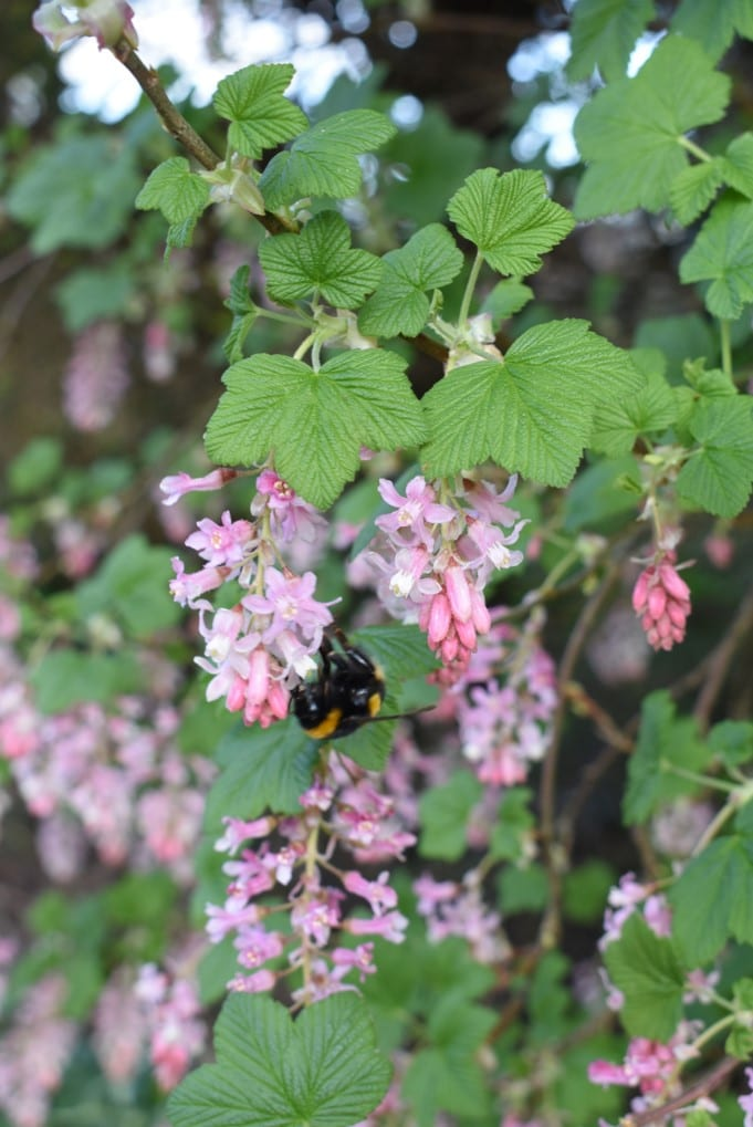 bumblebee-on-pink-flowers-of-Flowering-Currant-plant
