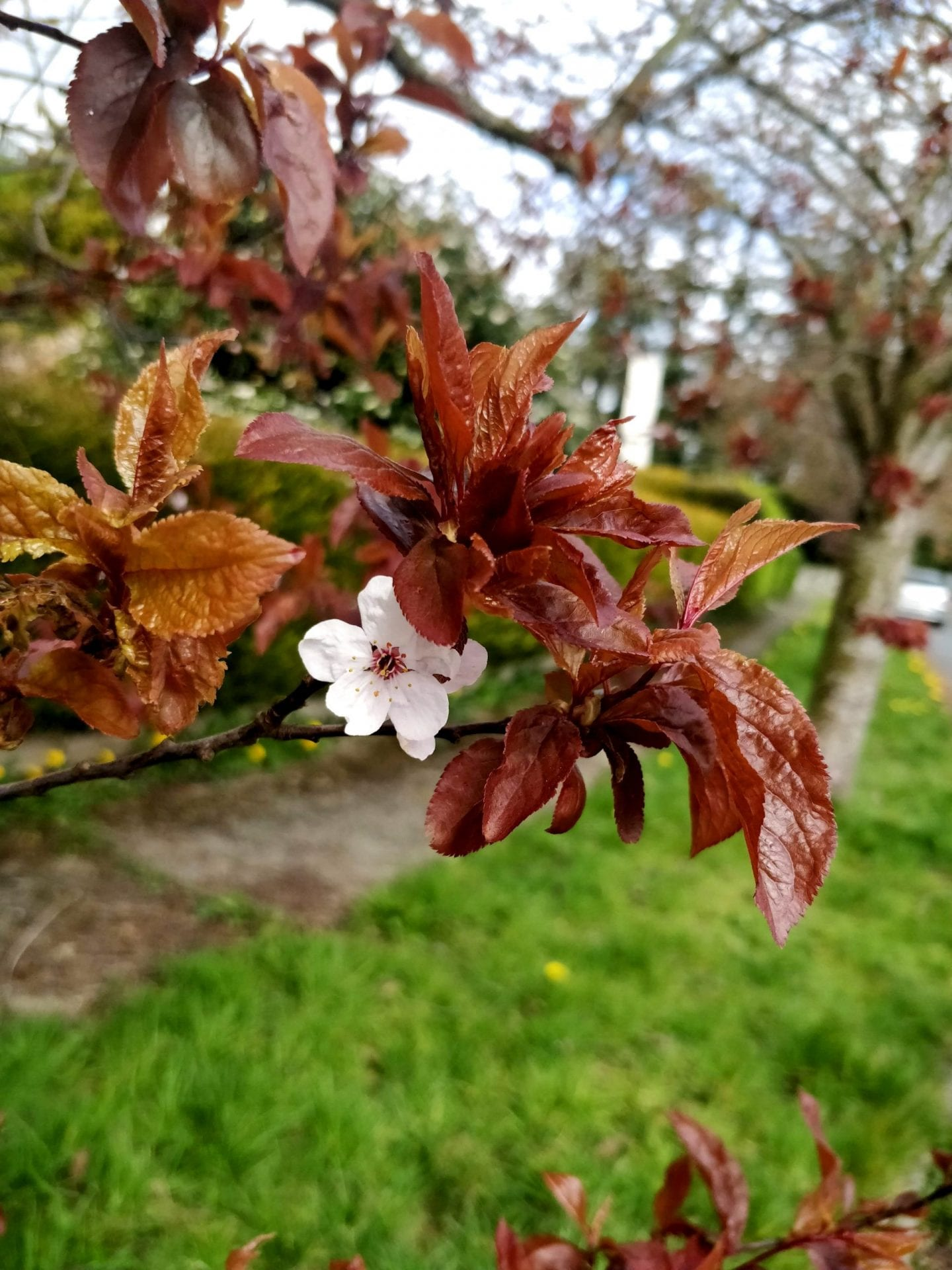 pink-flower-and-red-leaves-of-black-cherry-plum-tree