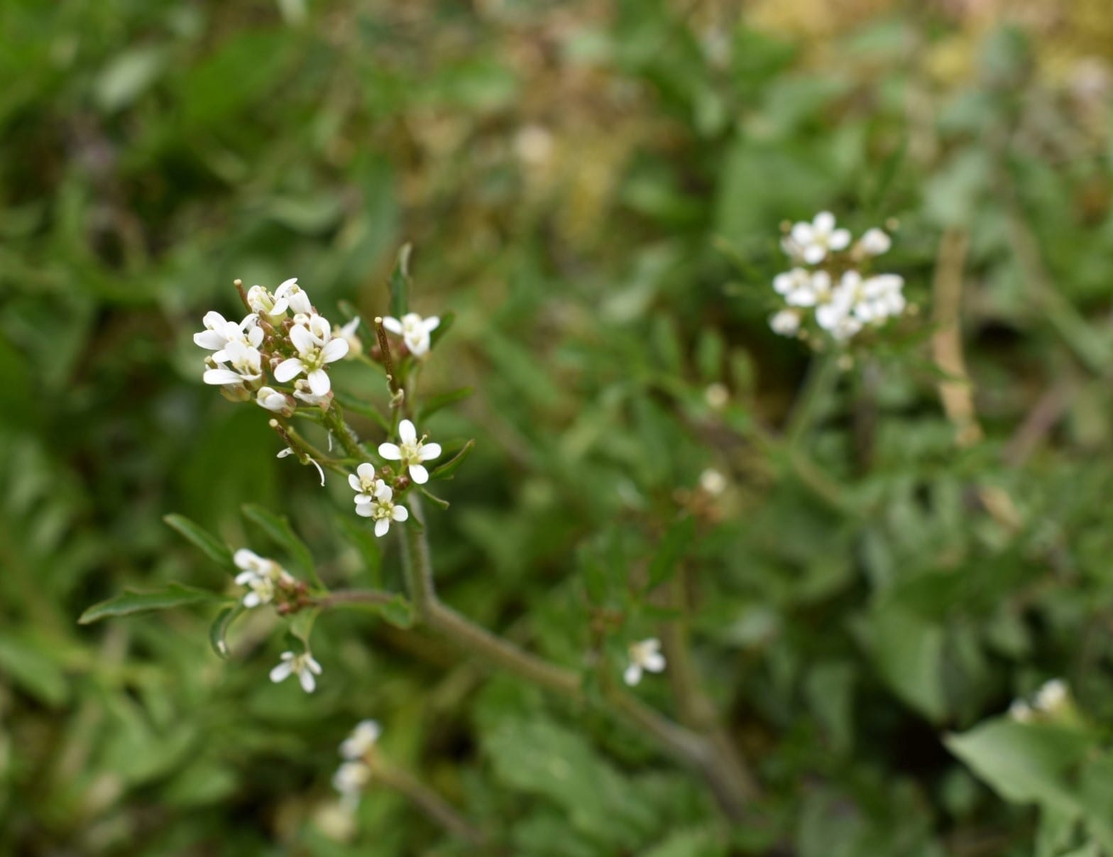 close-up-of-the-small-white-wavy-bittercress-flowers