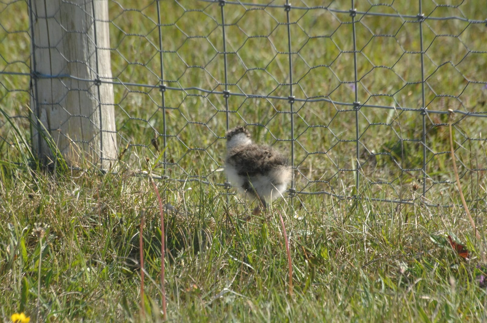 Photo-of-Lapwing-chick-at-predator-fence