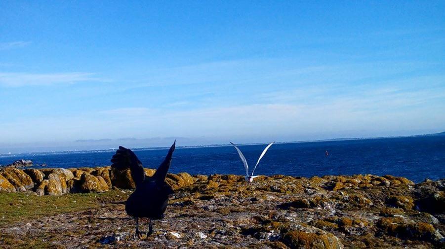 Arctic_Tern_chasing_Jackdaw_Dalkey_tern_colony_2020