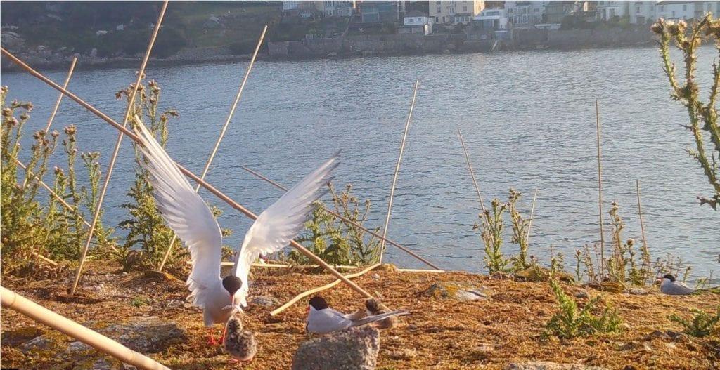 Close-up-Arctic-Tern-Feeding-Chicks-Dalkey-Tern-Colony