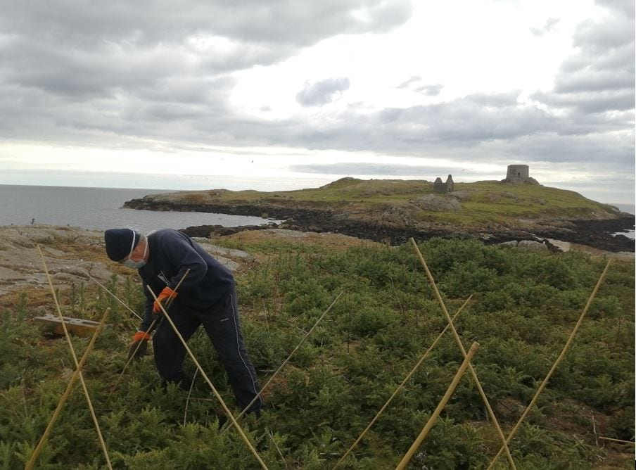 Setting-up-canes-as-gull-deterrent-Dalkey-tern-colony-2020