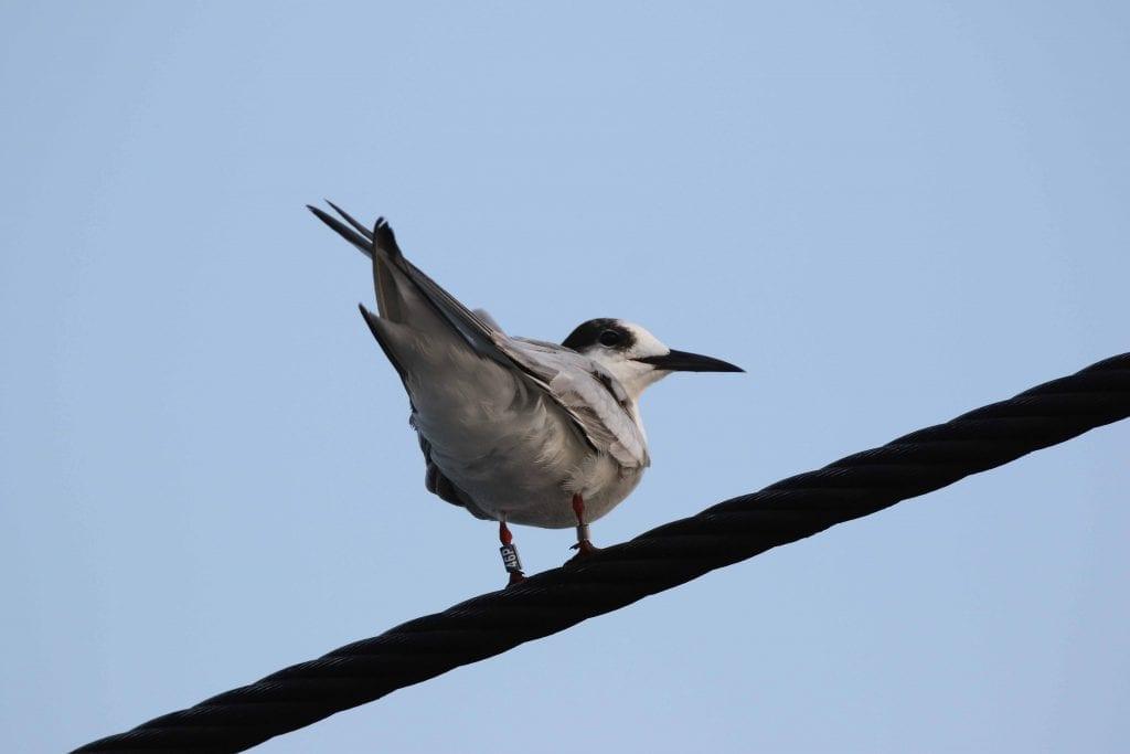 Common_Tern_Senegal