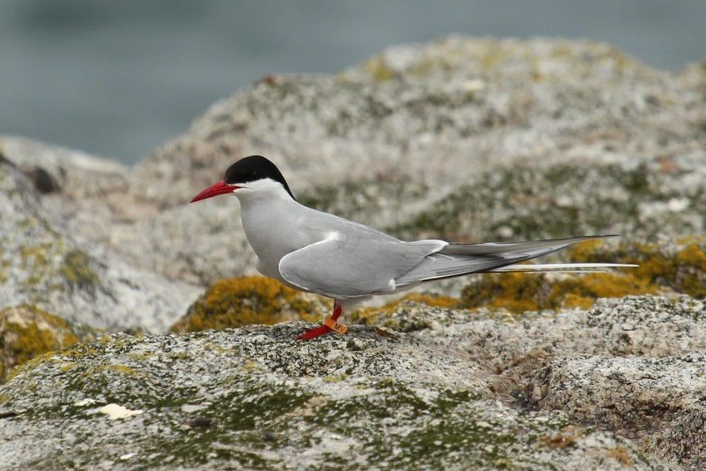 Arctic_Tern_flag_ringed_Skerries Wales