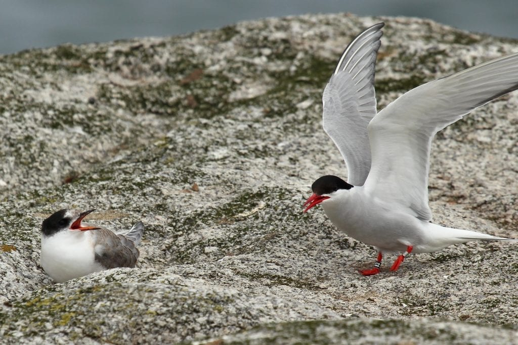 Colour_ringed_Arctic_Tern_with_fledgling_Dalkey_Island
