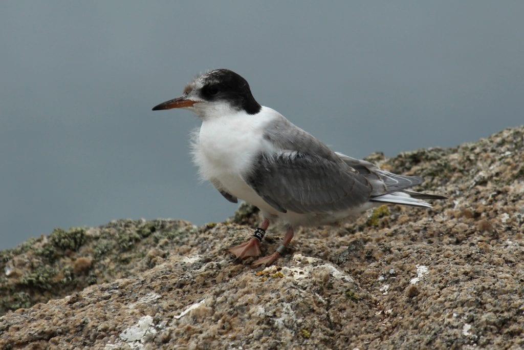 Colour-ringed-Arctic-Tern-fledgling-Dalkey-Islands