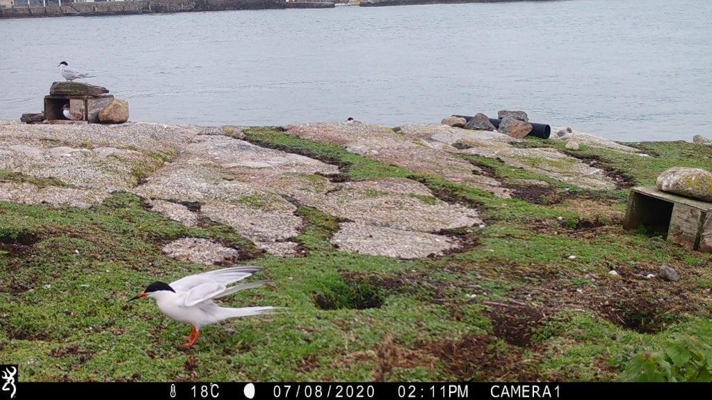 Roseate_Terns_Lamb_Island_Dalkey_sub_colony_July_2020
