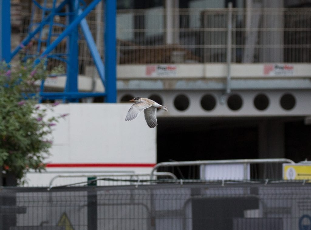 Common-Tern-Fledgling-Grand-Canal-Dock-2020-Kevin-Maguire