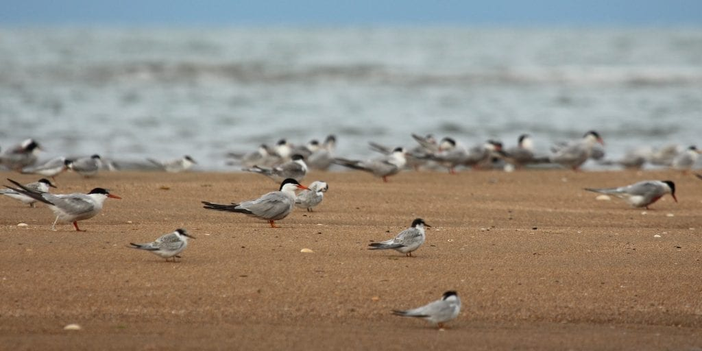 Colour-ringed-Common-Tern