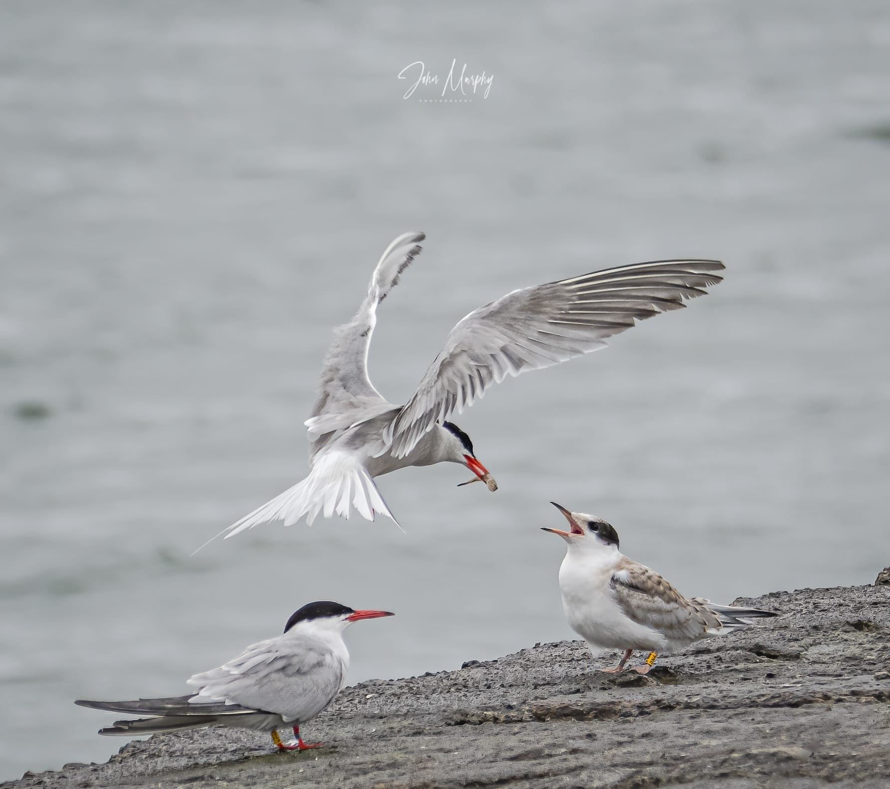 Colour_ringed_common_tern_parent_and_fledgling