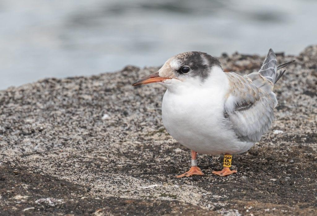 Colour-ringed-Common-Tern-Fledgling-John-Fox