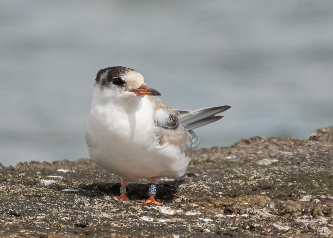 Colour-ringed-Common-Tern-Fledgling