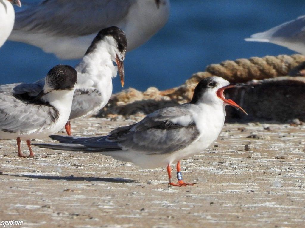 Colour-ringed-Common-Tern-Fledgling-Cadiz-Spain-Carmela-Quijano