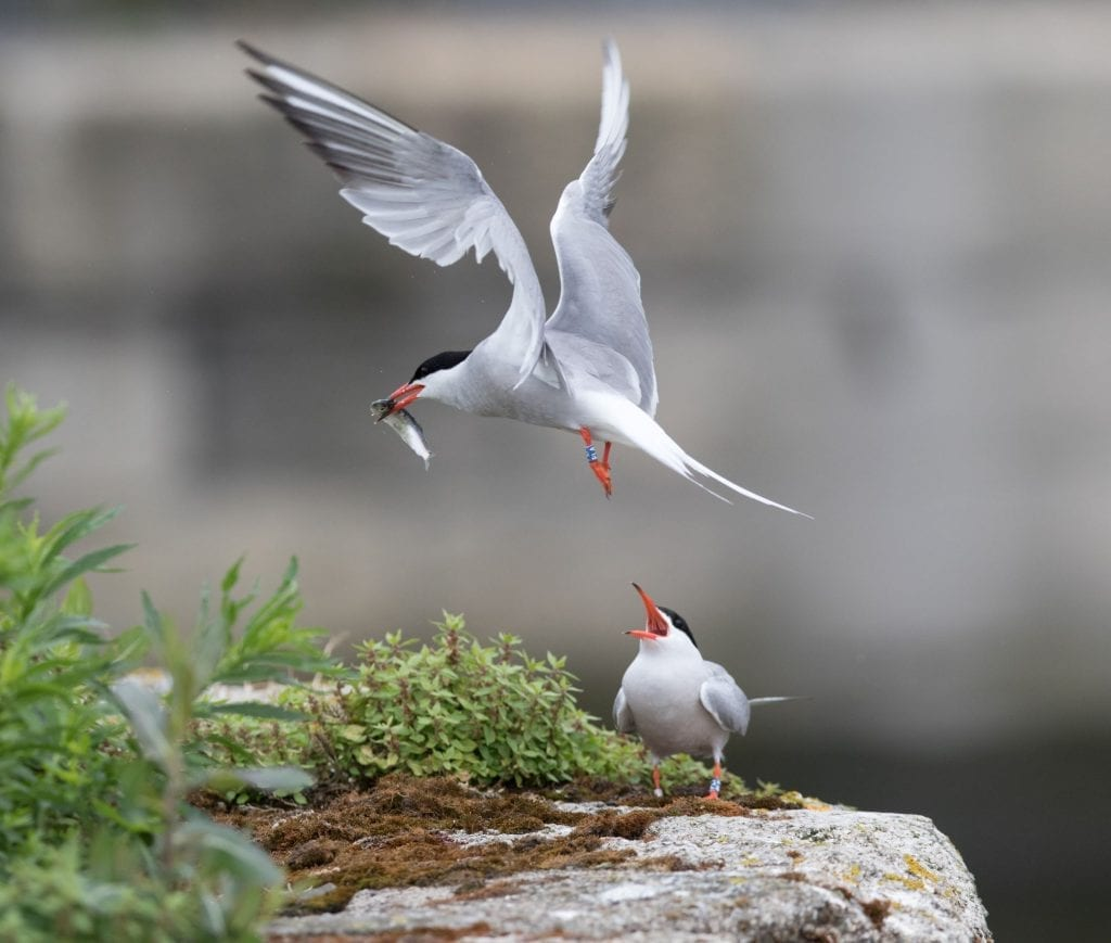 Colour-ringed-Common-Tern-pair-Grand-Canal