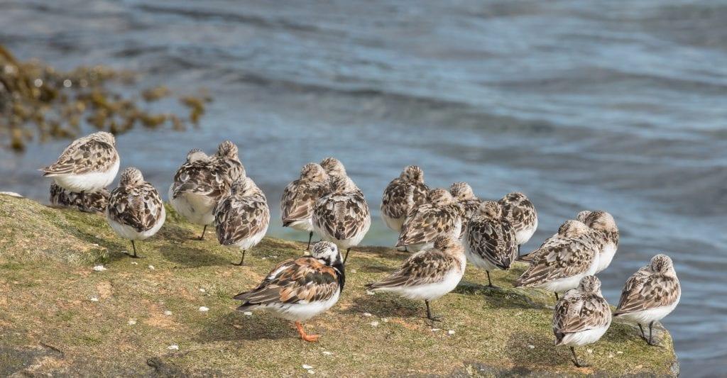 Sanderling-Turnstone-Roosting-John-Fox