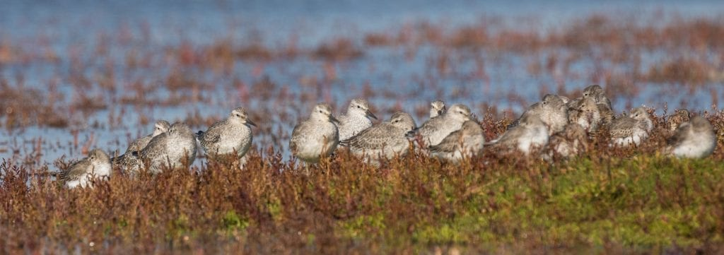 Red-Knot-Roosting-John-Fox