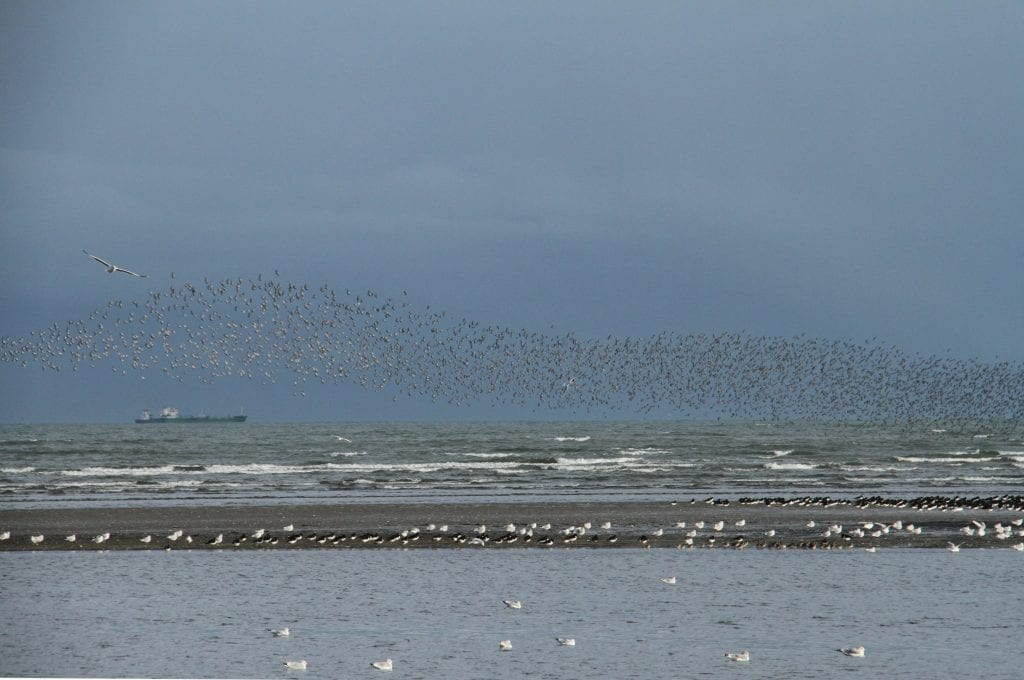 Knot-Oystercatchers-Gulls-Dick-Coombes